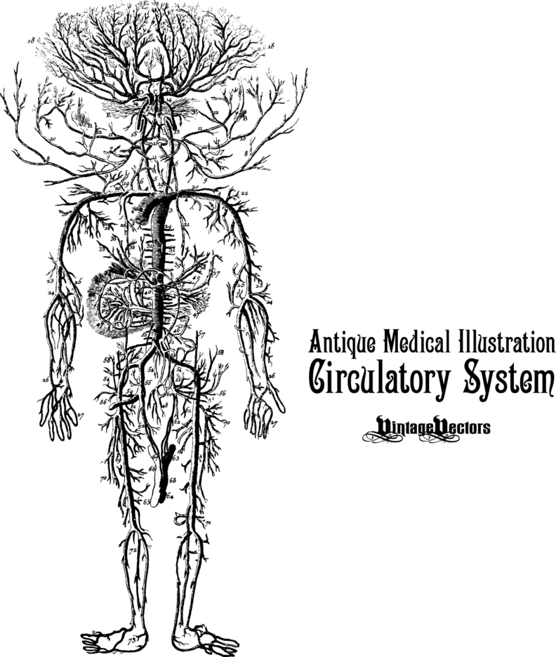 Circulatory System Antique Medical Illustration