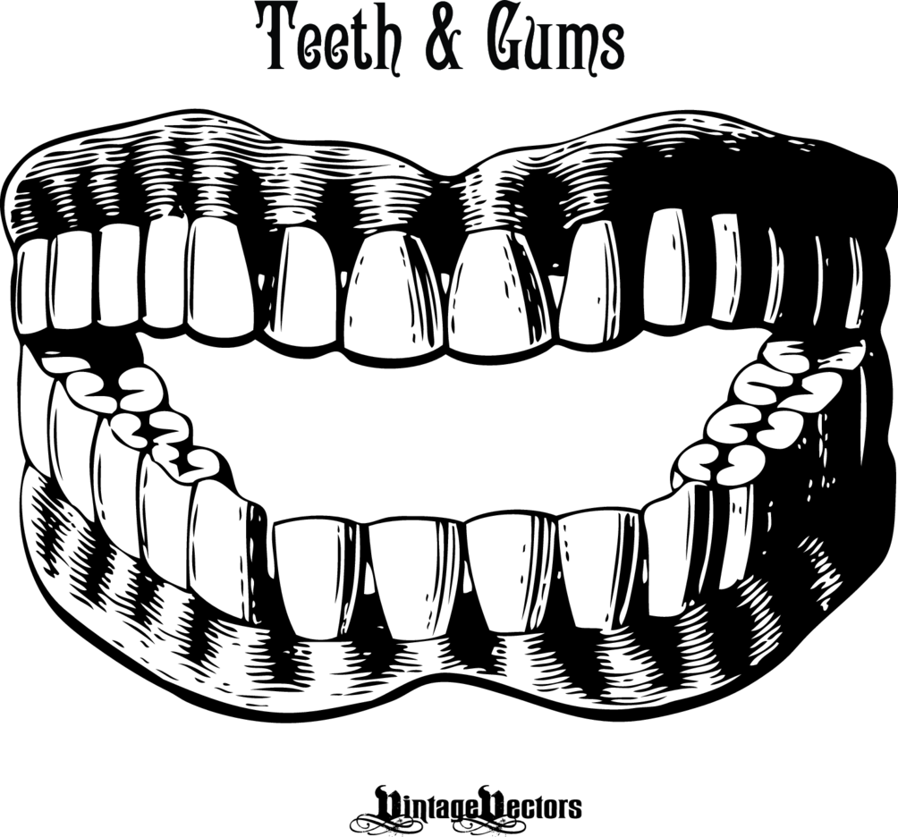 Set Of Teeth And Gums
